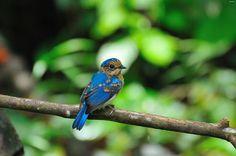 Malaysian Blue Flycatcher(Cyornis turcosus)