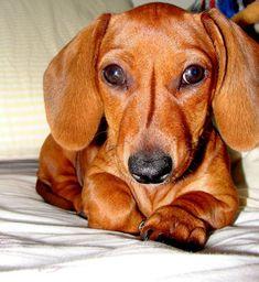Hot Dog! I Love Daschunds: This looks so much like JAKE! @Angie Wimberly Verret  AND @Kayla Barkett Verret
