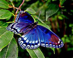 swallowtail caterpillar butterfly - Google Search