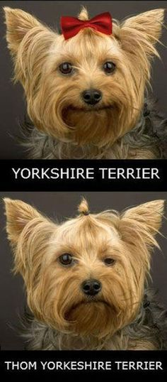 this made me laugh so hard What's So Funny, Funny Stuff, Thom Yorke, Laughing So Hard, Yorkshire Terrier, Portrait, Yorkie, Love Of My Life, I Laughed