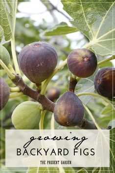 Growing your own figs is an easy way to start into home fruit production. Add these simple tips to an easy-to-grow crop and you're setup for success. // DIY Garden // Garden Help // Garden Tips // How to grow figs Veg Garden, Fruit Garden, Edible Garden, Lawn And Garden, Vegetable Gardening, Garden Bed, Easy Garden, Tropical Garden, Growing Fig Trees