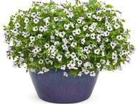 Torenias are one of the best flowers – and among the few flowers – that you can  grow in the shade .  'Grape-O-Licious,'  new for 2014, bears oversized white blooms with grape-purple centers. It's deer resistant and very attractive to hummingbirds.