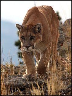 Love Mountain lions