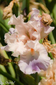 Iris at Arboretum at Flagstaff, AZ