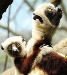 Lemur - a somewhat curious gaze