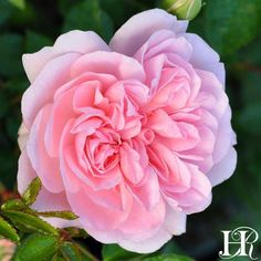 Bonica - Large clusters of 2 soft candy-pink, fully double blooms are produced on arching canes covered with mid-green foliage. A lovely continual blooming shrub rose perfect for mass planting, hedges or specimen planting.