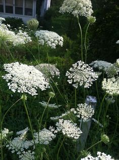 Queen Anne's Lace...invasive yet beautiful . . .wonderful for flower arrangements  . . .grows wild in the South . . .