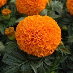Marigold Moonsong Deep Orange - Semi-Dwarf - Marigold, African - Flower Seed | Harris Seeds