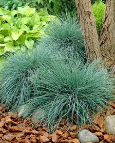 Festuca glauca Elijah Blue - Fescue - Pack of THREE - Ornamental Grasses - Garden Plants Eco Garden, Garden Shrubs, Garden Plants, Garden Landscaping, Fescue Grass, Blue Fescue, Ground Cover Seeds, Types Of Herbs, Hardy Perennials