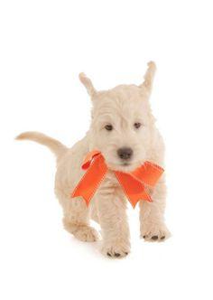 In a hurry!  #smeraglia #cute #goldendoodle; learn more:  www.teddybeargoldendoodles.com #EnglishTeddyBearDoodle #DoodleDynasty #GodPeopleDogs #StrictlyDoodles