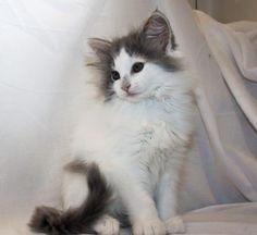 Jako rodinného mazlíčka nabízím krásné, vymazlené, Mainské mývalí koťátko bez PP, bicolorního kocourka ve stáří 8 týdnů. Koťátko je vychovávané v rodinném prostředí, zvyklé životu v bytě ve společnosti dětí a pejsků.