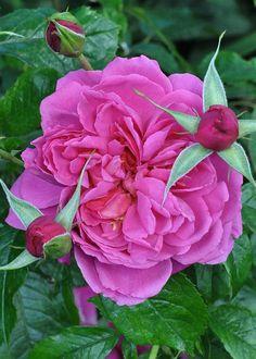 Hybrid Tea Rose: Rosa 'Saint-Exupéry' (France, 2003) « Tu deviens responsable pour toujours de ce que tu as apprivoisé. Tu es responsable de ta rose... »