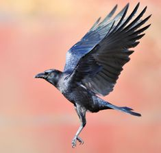 Crow in flight Crows Drawing, Crow Flying, Raven Bird, Raven Wings, Crow Images, Hybrid Art, Dark Wings, Crow Art, Jackdaw