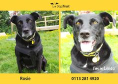 Good Morning! Meet Rosie is a very affectionate and cuddley dog from Dogs Trust Leeds.