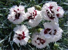 VÝŠKA 20/25 CM, KONTEJNER 9 CM, DOBA KVĚTU V-VIPěstujeme v sušší propustné hlinito-písčité půdě na plném slunci jako skalničku, nesnáší přemokření.Hvozdík je kompaktní stálezelená trvalka se šedozelenými listy. Má voňavé vlnité bílé okvětní lístky s červeným okem. Kvete opakovaně celé léto. Je vhodný do suchých zídek, okenních truhlíků, mís, žlabů, k obrubám záhonů...Mrazuvzdornost: mrazuvzdorný Pink Perfume, Plants, Plant, Planting, Planets