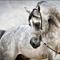 Arabian horsey🐎