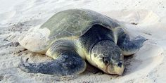 Kemp's Ridley Sea Turtle Facts , 6 Kemp's Ridley Sea Turtle In Reptiles Category Adopt A Sea Turtle, Sea Turtle Nest, Turtle Love, Land Turtles, Save The Sea Turtles, Animals And Pets, Baby Animals, Cute Animals, Endangered Sea Turtles