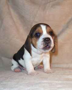 Baby beagle - Our Toby looked liked this little baby when we first got him, except with big bassett hound ears. lol! :)