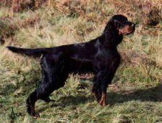 Gordon Setter - apparently the breed that SHOULD be my next dog.