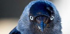 A video about an experiment showing how jackdaws communicate nest site occupancy with their eyes