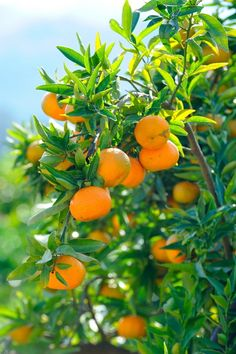 Oranges are a good fruit PACKED with vitamin C and lots of other healthy beneficials.