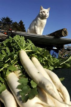 Fukumaru the Cat | Fukumaru guarding the daikon