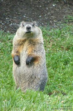 10 Things You May Not Know About Groundhogs. One likes in the thicket between us and the pasture.