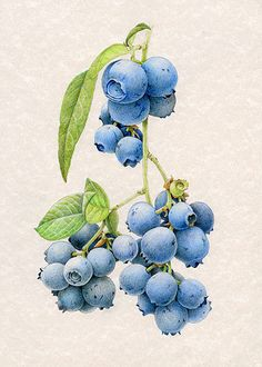 watercolor paintings of blueberries | ... as indigo blueberries or birch bark she creates a painting for each
