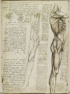 Recto: The muscles of the leg. Verso: The muscles of the trunk and leg | Royal Collection Trust