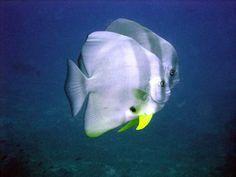 longfin batfish 37