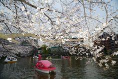 Photos of the Hanami in Tokyo