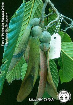 Dipterocarpus retusus - Fruiting twig.jpg