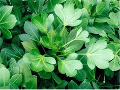 Pseudopanax 'Cyril Watson' - The Native Plant Centre Buy Plants Online, Planting Plan, Back Gardens, Native Plants, Garden Plants, Evergreen, Garden Landscaping, Shrubs, Planting Flowers