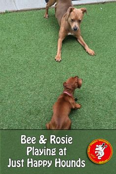 Bee and Rosie Playing at Just Happy Hounds #happydogs www.JustHappyHounds.com