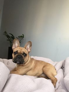 The major breeds of bulldogs are English bulldog, American bulldog, and French bulldog. The bulldog has a broad shoulder which matches with the head. French Bulldog Clothes, Cute French Bulldog, French Bulldog Puppies, French Bulldogs, Frenchie Puppies, Baby Bulldogs, English Bulldogs, Cute Puppies, Cute Dogs