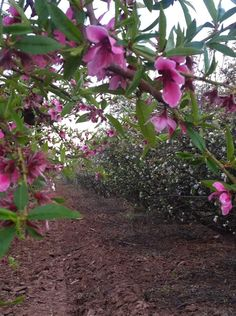 #SchepfFarms Peach Blossom Celebration in #QueenCreek