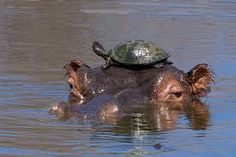 Image result for hippo watering hole