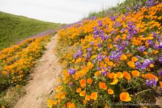 Where to See Wildflowers in Chino Hills State Park - California Through My Lens California Love, California Travel, Northern California, Chino Hills State Park, Places To Travel, Places To See, China, Travel Aesthetic, Outdoor Fun