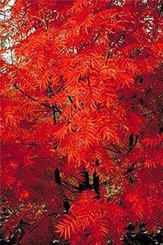 rowan tree - Google Seawch