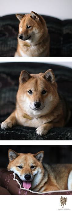 Shiba Inu Kitsune is the head Shiba Inu at my first shiba!  Shiba Inu Kitsune loves to smile for the camera! Love Shiba Inu's? Learn more about this breed at myfirstshiba.com