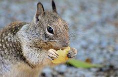 Nibbles the squirrel love his potato chip