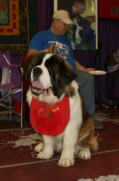 St Bernard Club - Uncle Ken & Aunt Barb's shows Big Dogs, I Love Dogs, Cute Baby Animals, Funny Animals, Cute Puppies, Cute Dogs, Mountain Dog Breeds, St Bernard Puppy, Dog School