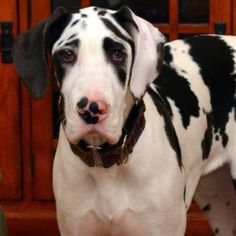 I AM enjoying having our gorgeous Dane puppy in the house!