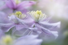 Clematis 'mayleen' by Jacky Parker on 500px