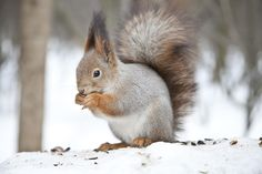 Squirrel - Squirrel
