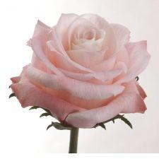 blush pink Esmeralda Farms