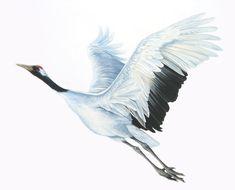 Current events - Chassida Shmella Japanese Prints, Japanese Art, Watercolor Bird, Watercolor Paintings, Crane Drawing, Amazing Beasts, Scratchboard Art, Crane Bird, Bird Illustration