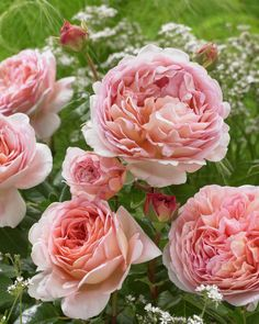 'Abraham Darby' |  Shrub.  English Rose Collection. Bred by David C. H. Austin (United Kingdom, 1985).
