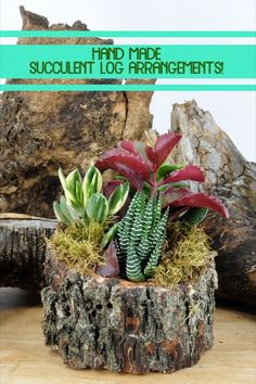 These adorable in-house made log arrangements come with assorted succulents! (Sizes and succulents vary) Succulent Arrangements, Planting Succulents, Succulent Planters, Cactus House Plants, Cactus Decor, Cactus Art, Driftwood Projects, Driftwood Art, Prickly Cactus