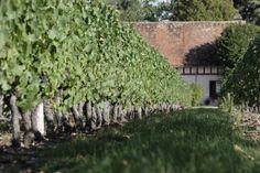 Le cépage du Cour-Cheverny introduit par François 1er en 1519 est planté aux abords du château de Romorantin où vivait sa sa mère.  Un peu de chiffres : 11 communes du Loir-et-Cher concernées par ce vin blanc.  Un peu de cépages : cépage Romorantin, exclusivité de l'appellation.  Un peu d'arômes : secs et vifs, ils se caractérisent par une très grande longueur en bouche.  Un peu de gastronomie : à servir frais (8 – 10 °) pour accompagner asperges, poissons, crustacés et viandes blanches.